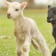 VOGHERA PAVIA VIGEVANO… E ALTROVE -Riduciamo il consumo di carne iniziando da loro. Che sia Pasqua anche per gli agnellini