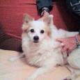 VOGHERA – In merito al caso del cane (Chicco/Pasquale) adottato a Voghera ma reclamato a Barletta dove viveva fino a poco tempo fa (VEDI LINK SOTTO), intervengono i volontari pugliesi...