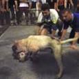 PAVIA VOGHERA VIGEVANO – Pubblichiamo il testo di una petizione avviata per fermare una volta per tutte i combattimenti fra cani: terribile reato mai perseguito come invece andrebbe fatto. Sotto...