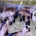 PAVIA VOGHERA VIGEVANO – Un caprone e dieci capre, di cui alcune incinte, di proprietà di un allevatore del varesotto, dovevano essere macellate perché risultate positive alla CAEV (Caprine Arthritis...
