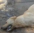 """CORVINO-OLIVA-TORRICELLA – La Lega anti vivisezione dell'Oltrepo pavese segnala """"la morte di due cani per possibile avvelenamento a seguito di ingestione di bocconi"""". Il caso sarebbe avvenuto nella zona dell'area..."""