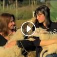 PAVIA VOGHERA VIGEVANO – Un bel video di Rai2 (non cruento) sulla triste sorte e sul trattamento inumano riservato agli agnelli pasquali. link https://www.facebook.com/video.php?v=900921513280896 VIDEO  Pubblicazione di Animal Equality...