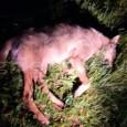 GODIASCO – VogheraNews.it è in grado di mostrarvi la foto del lupo trovato ieri sulla provinciale per il Penice nel Comune di Godiasco. L'animale è stati recuperato dagli agenti della...