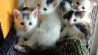 """VOGHERA – Enpa Voghera lancia """"un appello accorato per raccogliere Cibo umido Kitten di qualità per sfamare i 20 gattini attualmente ospitati presso il Gattile vogherese"""". """"Ogni gesto, anche se..."""