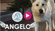 VOGHERA – La lega nazionale per la difesa del cane ha avviato il Crowdfunding per realizzare un cortometraggio (regista Andrea Dalfino) in memoria di Angelo e per aiutare gli animali...