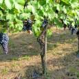 printDigg DiggTORRAZZA COSTE – Il Consorzio Tutela Vini Oltrepò Pavese ha convocato un tavolo di lavoro per giovedì 6 luglio alle ore 17 al Centro Riccagioia per arrivare a un...
