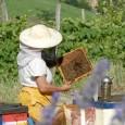 """PAVIA – Gli alveari pavesi sono a secco. Colpa della siccità e del caldo torrido, che dopo l'ondata di gelo registrata in primavera hanno provocato nelle """"case del miele"""" perdite..."""