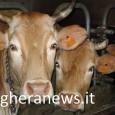PONTE NIZZA – E' stata una giornata ad altissima tensione quella trascorsa domenica alla XIV fiera dellarazza bovina varzese svoltasi nella frazione San Ponzo. Alla festa ha preso parte anche...