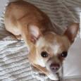 CASATISMA – Pongo manca da casa dal 21 di novembre. Pongo è un chihuahua di 5 anni che è scomparso dalla sua abitazione di Casatisma (PV). I padroni disperati hanno...