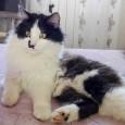 """VOGHERA – Ancora un appello per un micio smarrito. E' un gatto maschio sterilizzato di nome Felix, sparito ad agosto da Cassina de Pecchi, frazione Sant'Agata Milano. """"Condividete le foto..."""