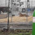 VOGHERA – L'Enpa di Voghera scende in campo contro il Circo (con animali) arrivato pochi giorni fa in città. L'associazione invita la cittadinanza a boicottare lo spettacolo e a mobilitarsi....