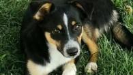 """VOGHERA – Un altro cane scomparso da casa. Lo rende noto la padrona Sara V. """"Lunedì mattina scorso (9/07), è scomparsa la nostra cagnolina di 6 mesi, un incrocio tra..."""