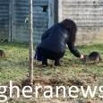 PAVIA – La Regione ha reso noti i dati delle uccisioni nell'anno 2017 in Lombardia delle nutrie, animali importati nel continente decenni fa per motivi economici (fare pellicce) ed ora,...