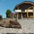 """VOGHERA – Un topone di 20 centimetri in strada… morto. E' ciò che raffigura la foto che un nostro lettore ci ha inviato. """"L'intento – spiega il residente – è..."""