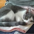 VOGHERA – Lola, gatta di colore grigio e bianco, manca dal 4 agosto dalla sua casa di via XXV Aprile/via Grue (ma potrebbe essere anche lontana da quella zona). Se...