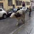 printDigg DiggPAVIA – Una povera mucca che cammina sola e spersa lungo corso Garibaldi. E' accaduto questa mattina a Pavia. L'animale, confuso, per diversi minuti ha vagato per il centro...