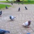 """VOGHERA – Inizia in anticipo quest'anno la campagna comunale per il contenimento dei piccioni. Nel 2019 le operazioni avranno inizio già con la prima settimana di marzo. """"Si tratta della..."""