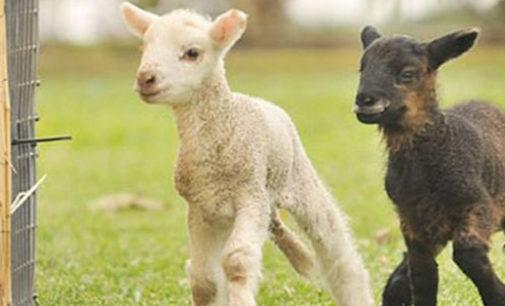 VOGHERA PAVIA VIGEVANO: Riduciamo il consumo di carne iniziando da loro. Che sia Pasqua anche per gli agnellini