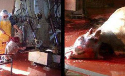 PAVIA VOGHERA VIGEVANO: Gli animali non si torturano nemmeno per fini religiosi. Enpa. Basta macellazione rituale