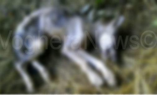 SANTA MARGHERITA STAFFORA 25/09/2014: Il lupo sui monti delle zone montane della provincia di Pavia c'è per davvero. Ora esiste la prova definitiva. Recuperato sul Monte Chiappo il corpo esanime di un lupetto di 4 mesi (all'interno la FOTO in chiaro)