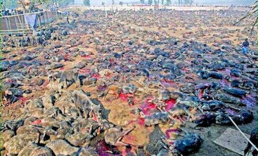 """PAVIA VOGHERA VIGEVANO: In Nepal maxi massacro """"rituale"""" di animali innocenti. Firma per cercare di fermarlo"""