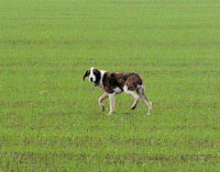 VOGHERA 14/11/2014: Cane in strada Grippina. Chi lo riconosce?