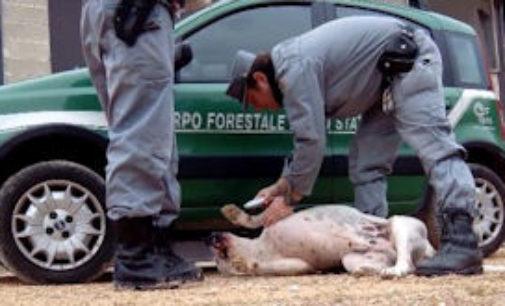 PAVIA 14/11/2014: Combattimenti fra cani e cinghiali. Denunce anche nel pavese