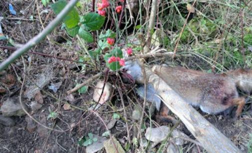 ZAVATTARELLO 26/11/2014: Volpe finisce con la testa nel laccio di un bracconiere. Salvata in extremis dai alcuni residenti e dalla Forestale