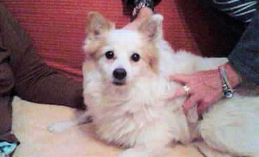 """VOGHERA 16/12/2014: Giallo attorno alla vicenda di un cane. E stato adottato a Voghera perchè """"abbandonato"""". Ma ci sarebbe qualcuno che lo reclama a Barletta"""