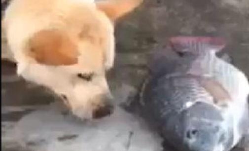 PAVIA VOGHERA VIGEVANO 03/12/2014: (VIDEO) Il cane che cerca di salvare i pesci appena pescati dandogli l'acqua
