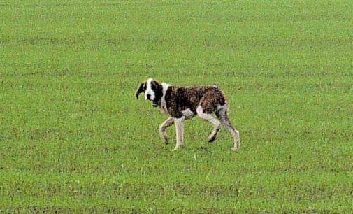 VOGHERA 23/01/2015: Strada Grippina. In atto la cattura del cane randagio. Appello dell'Enpa