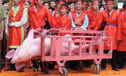 """VOGHERA 03/02/2015: Firma per fermare la terribile pratica di tagliare in 2 un maiale """"vivo"""""""