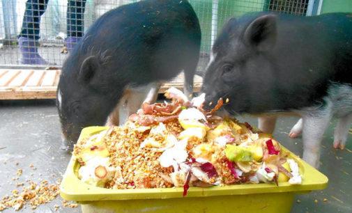 VOGHERA 17/02/2015: Due simpatici maialini abbandonati davanti al canile Enpa. Ora si cerca una famiglia che li adotti e garantisca loro una lunga vita… ovviamente lontano da pentole e grigliate. Intanto chi può doni verdura e frutta