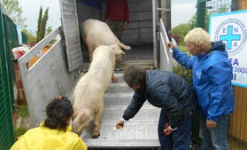VOGHERA 28/04/2015: Se del maiale non si butta via nulla… l'Enpa Voghera di Rosso e Blu ha tenuto davvero tutto a partire dalla vita