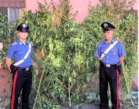 PAVIA & PROVINCIA 15/09/2021: Cannabis. Referendum legalizzazione. L'appello di Sardine, Associazione Radicali, M5S, +Europa Pavia e Volt Europa