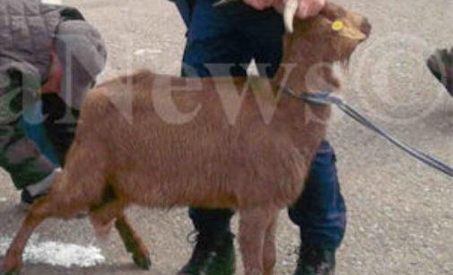 BARBIANELLO 02/11/2015: Rubano capre e attrezzi. Arrestati 4 romeni e un italiano