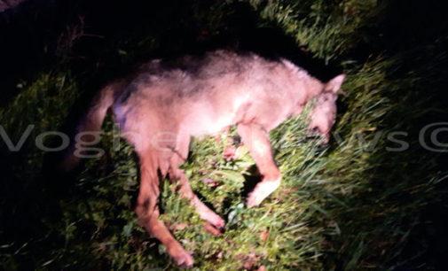 """GODIASCO 20/11/2015: Lupi in l'Oltrepò pavese. La FOTO dell'esemplare trovato ieri sulla Provinciale. E' stato travolto da un'auto. La testimonianza della donna che lo ha trovato. """"Ho pianto"""""""