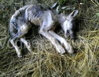 GODIASCO 20/11/2015: Sempre più lupi nell'Oltrepo pavese e sempre più vicini alla pianura. Incredibilemente ieri sera un esemplare è stato trovato lungo la Provinciale. Purtroppo era morto