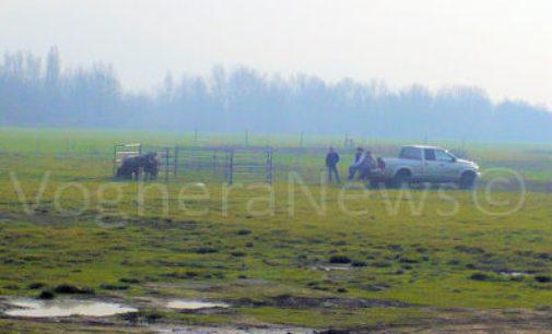 VOGHERA 16/12/2015: 3 vitelli scappano dal Ranch. Mobilitati anche i Vigili