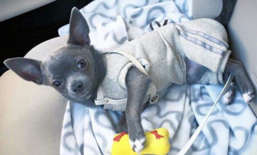 """ALAGNA 15/02/2016: Chihuahua """"blu"""" rubato. Continua la ricerca da parte della padroncina"""