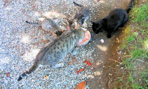CASTEGGIO 15/03/2016: Tensione in città fra abitanti e gattare per l'igiene. LAV e Comune stanno collaborando per arrivare alla creazione di colonie feline regolari