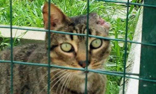VOGHERA 24/03/2016: Appello dell'Enpa per la cura di due gatti affetti da tumore alle orecchie. Servono 300 euro
