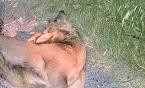 VOGHERA 12/04/2016: Auto si scontra con un capriolo. L'animale muore. Gravi danni al mezzo. E' il terzo caso in pochi giorni