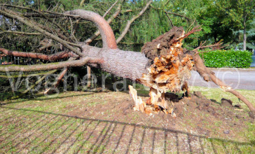 VOGHERA 10/06/2016: Un botto e poi i grandi alberi stramazzano a terra. Danni e rischi per le persone durante il nubifragio di ieri pomeriggio