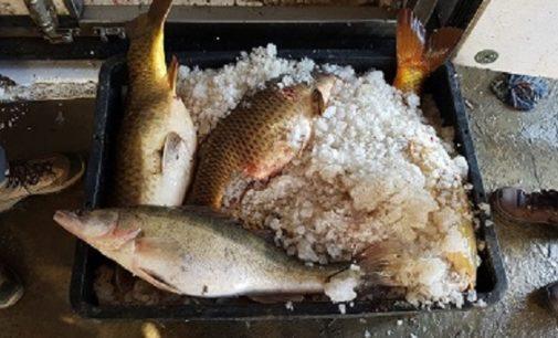 PIETRA DE' GIORGI 23/12/2016: Bracconaggio di pesce sul Po. La base era nel pavese e in Oltrepo. La Forestale denuncia banda di romeni