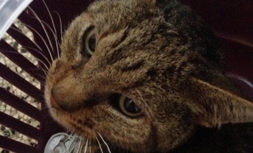 RETORBIDO 05/01/2017: Trovato un gatto. Si cerca la famiglia o qualcuno che lo adotti. Chi lo riconosce?