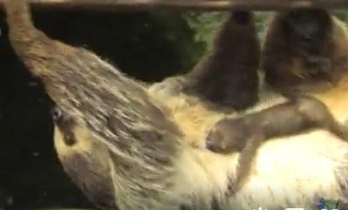 SANT'ALESSIO 26/07/2017: Euforia all'Oasi di Sant'Alessio. E' nato un cucciolo di bradipo. Lanciato concorso per dargli il nome