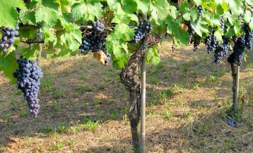 """TORRAZZA COSTE 01/07/2017: Il Consorzio Tutela Vini Oltrepò Pavese crea un tavolo di lavoro contro il """"mercato pazzo delle uve"""""""