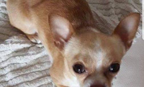 CASATISMA 28/11/2017: Chihuahua sparito nel nulla. Ricompensa a chi riporta a casa Pongo
