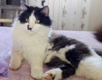 MILANO PAVIA 08/11/2017: Ricompensa di 1.000€ per chi fa ritrovare il gatto Felix